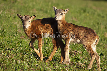 small, young, mouflons, walking, on, green - 28216988