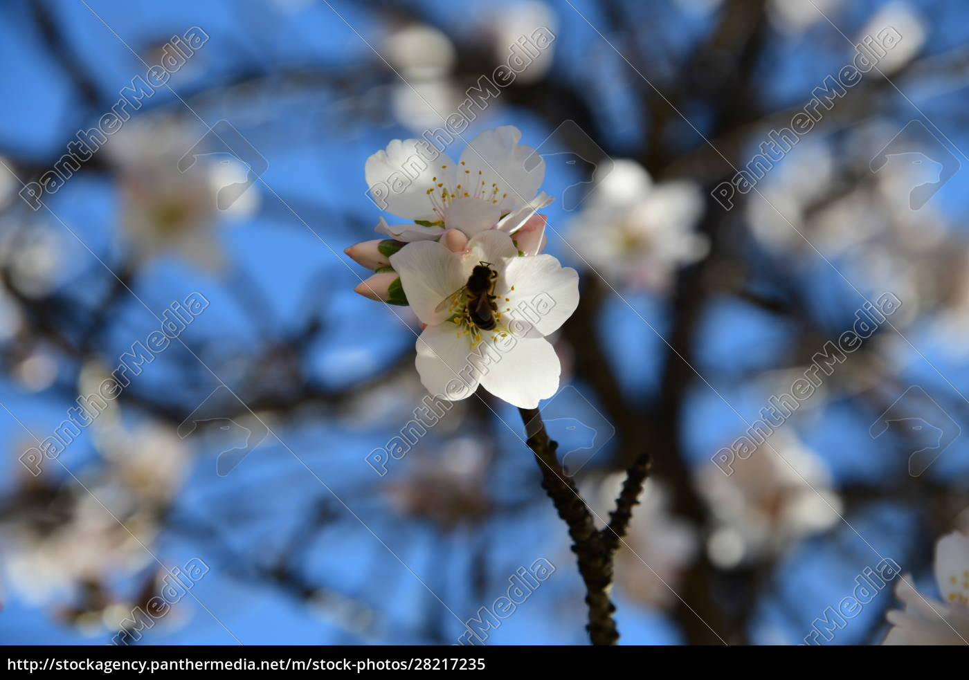 blossoms, on, almond, tree, , alicante, province, - 28217235