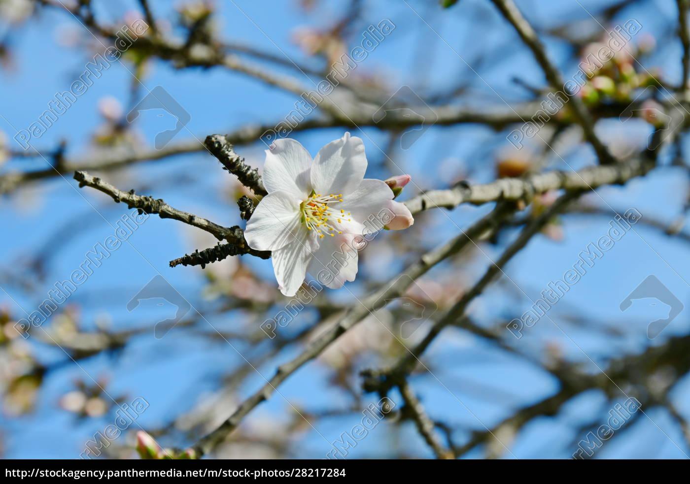 blossoms, on, almond, tree, , alicante, province, - 28217284