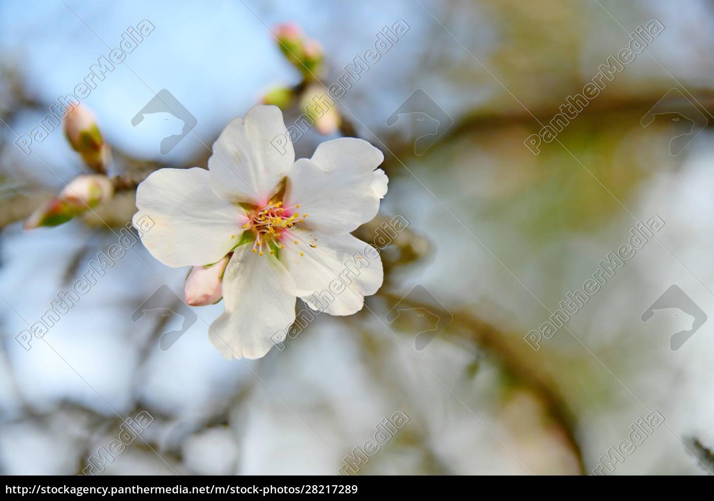 blossoms, on, almond, tree, , alicante, province, - 28217289