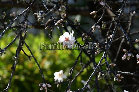 blossoms, on, almond, tree, , alicante, province, - 28217968