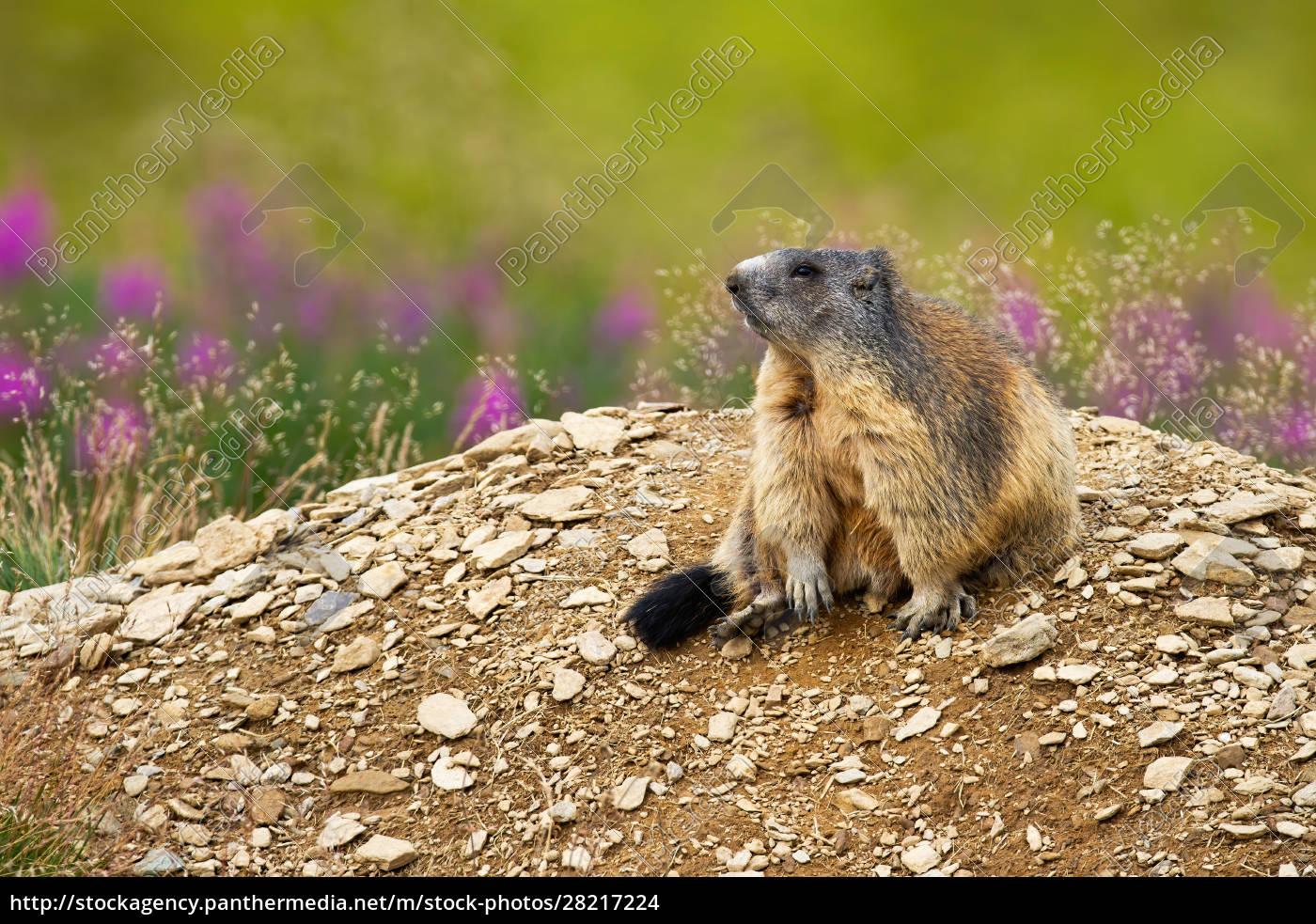cute, alpine, marmot, sitting, on, a - 28217224