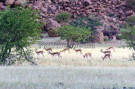 herd, of, springboks, in, namibia - 28217129