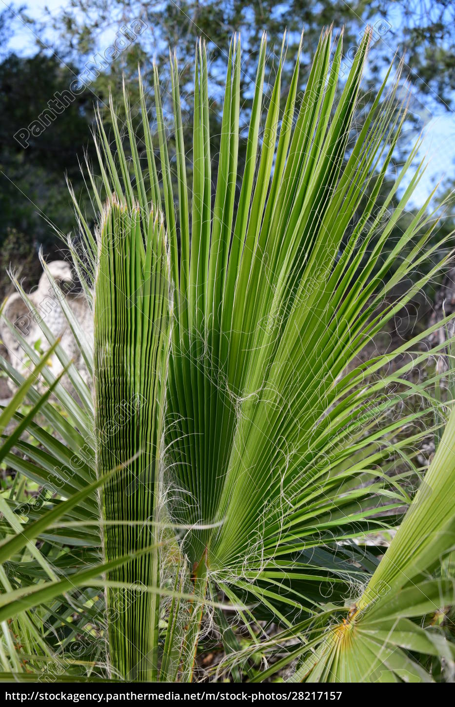 palm, leaves, in, the, province, of - 28217157