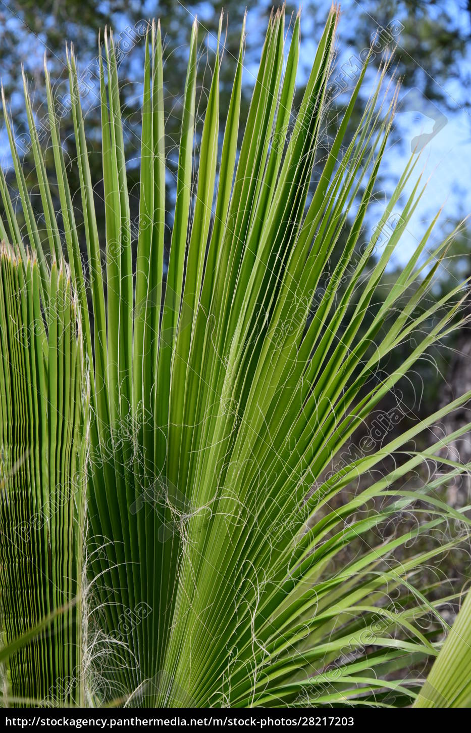 palm, leaves, in, the, province, of - 28217203