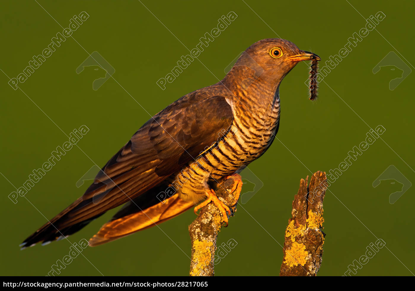 surprised, common, cuckoo, male, holding, a - 28217065
