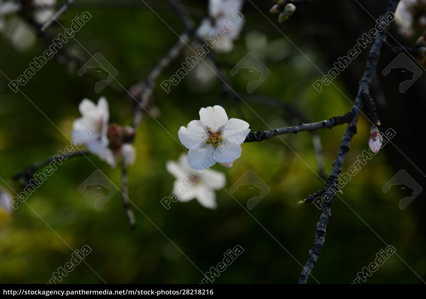 blossoms, on, almond, tree, , alicante, province, - 28218216