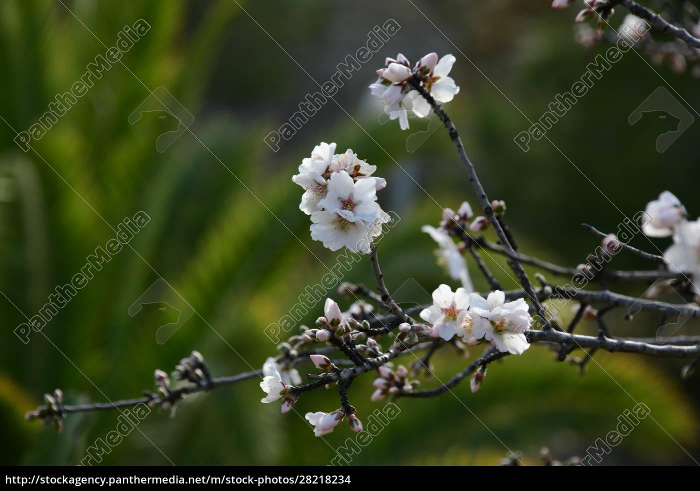 blossoms, on, almond, tree, , alicante, province, - 28218234