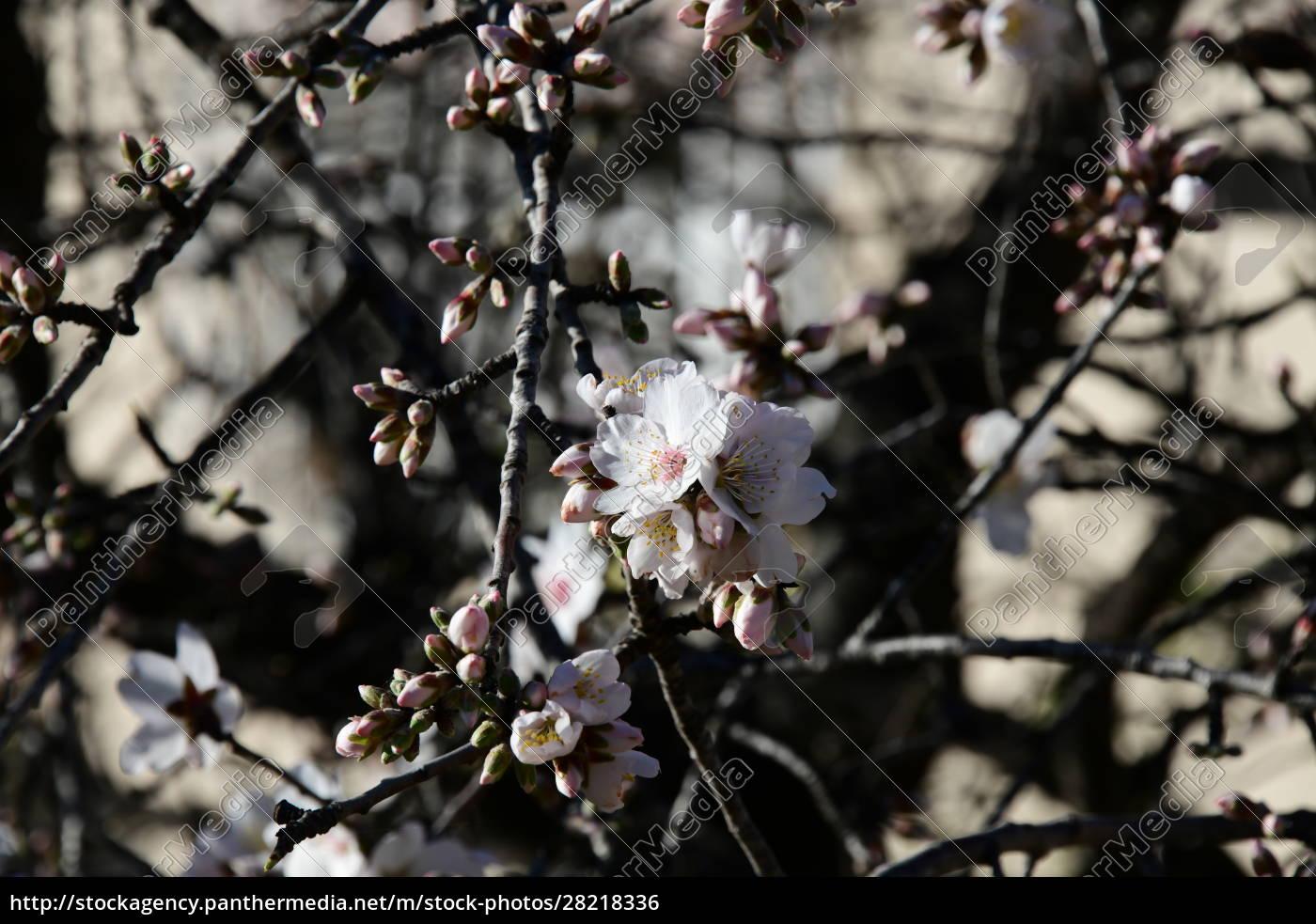 blossoms, on, almond, tree, , alicante, province, - 28218336