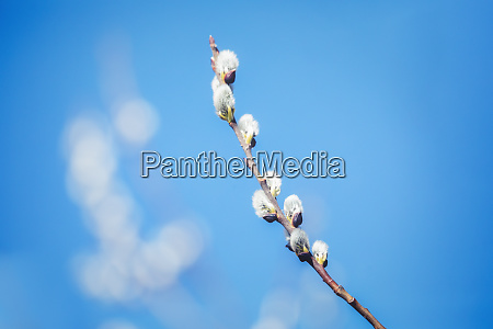 pussy willow holiday background