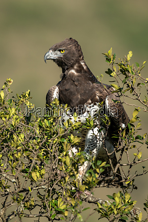 martial eagle looking down from leafy
