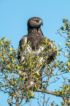 martial eagle looks out from leafy
