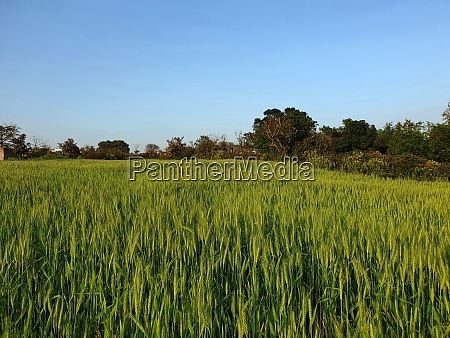 gross fields greenery beautiful of jammu
