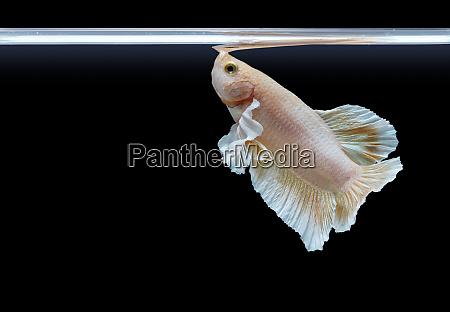 beautiful pearl color betta fish breathe