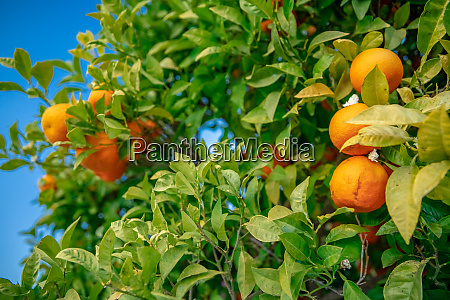 tree with oranges lit by the