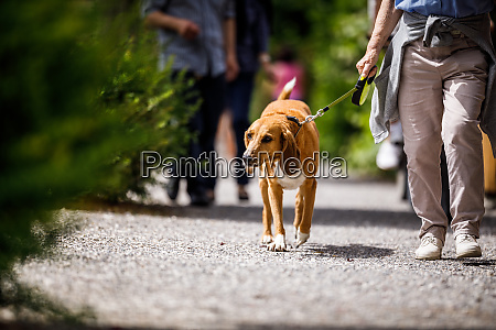 cute old dog being walked by