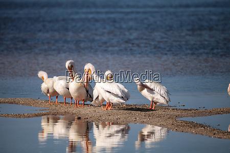 white pelican bird pelecanus erythrorhynchos in