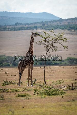 masai giraffe stretches to browse topmost