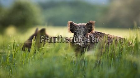 wild boars feeding on green grain
