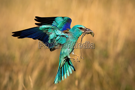 colorful european roller hovering in flight