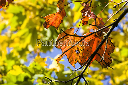 red maple foliage