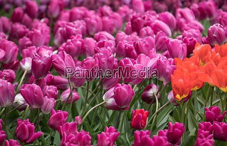 purple tulips flowers blooming in a
