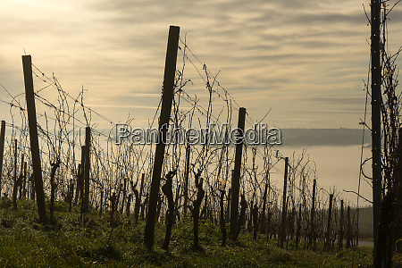 vineyard with fog in the valley
