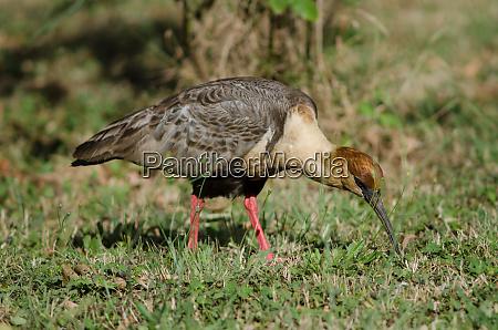 black faced ibis theristicus melanopis in