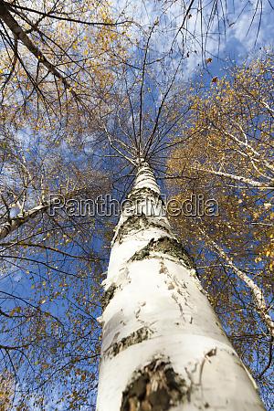 beautiful birch foliage