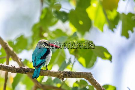 woodland kingfisher ethiopia africa wildlife