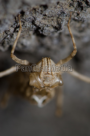 frontal view of a dragonfly larva