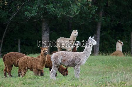 herd of alpacas vicugna pacos in