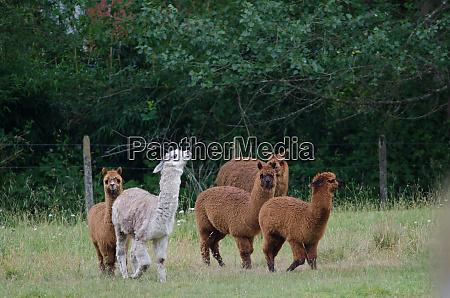 herd, of, alpacas, vicugna, pacos, in - 28245891