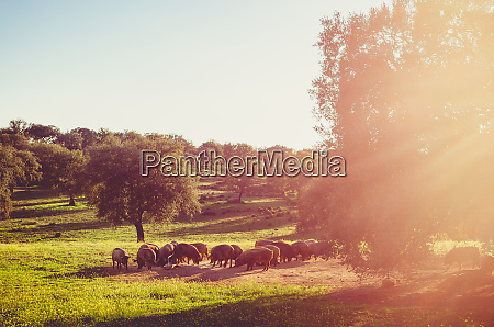 pigs in glassland at sunset extremadura