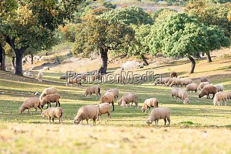 beautiful sheeps grazing in the field