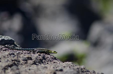 male of jewel lizard liolaemus tenuis