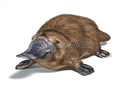 platypus duck billed animal ornithorhynchus anatinus