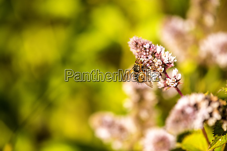 tachinid fly on a flower of