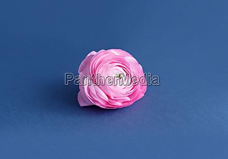 pink ranunculus flower on a blue