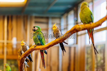 green and red psittacidae of macaws