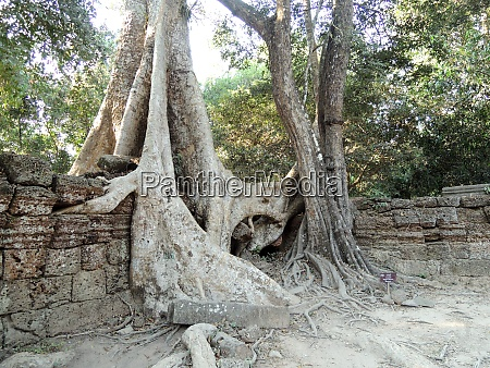tree roots in wall nature reclaims