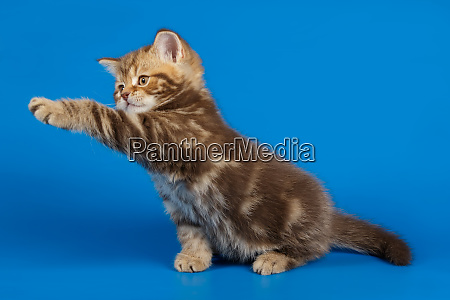 scottish straight shorthair cat on colored