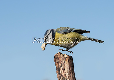 a blue tit with difficulty starting