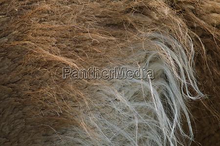 detail coat of a guanaco lama