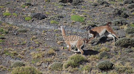 males of guanaco lama guanicoe fighting