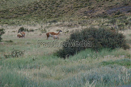 females guanacos lama guanicoe with their