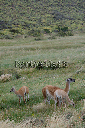 female guanaco lama guanicoe with its