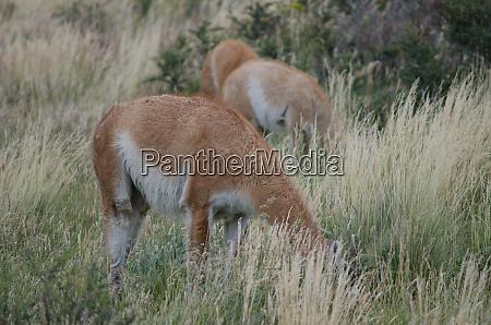 guanacos lama guanicoe grazing in a