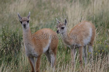 cubs of guanaco lama guanicoe in