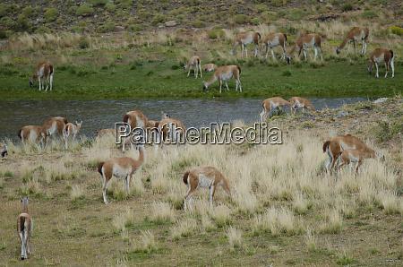 herd of guanacos in torres del